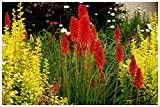 3 x Kniphofia 'Redhot Popsicle' / Fackellilie...