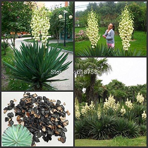 100% genuino !!!50 pezzi di semi di fiori bonsai di yucca gloriosa freschi (15-F0052)