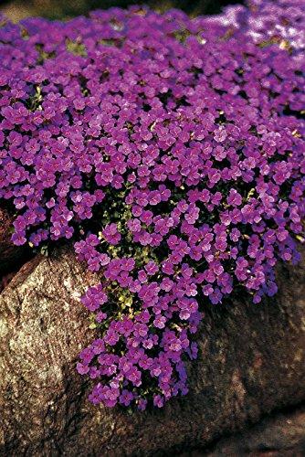 Frisch 2000 Samen - Aubrieta Cascade Lila Bodendecker Seeds