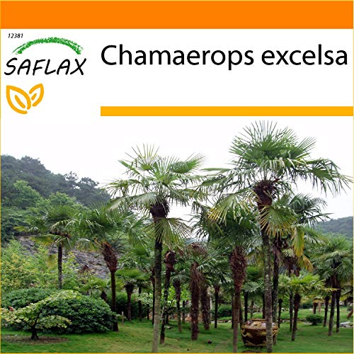 SAFLAX - Jardin dans le sac - Palmier à chanvre - 10 graines - Chamaerops excelsa