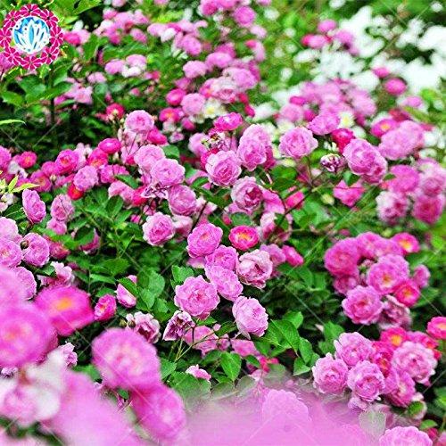 50 pcs escalade graines Rose Rouge japonaise. Rare graines Rose sementes. mur d'escalade de jardin floral vivace plante ornementale 7