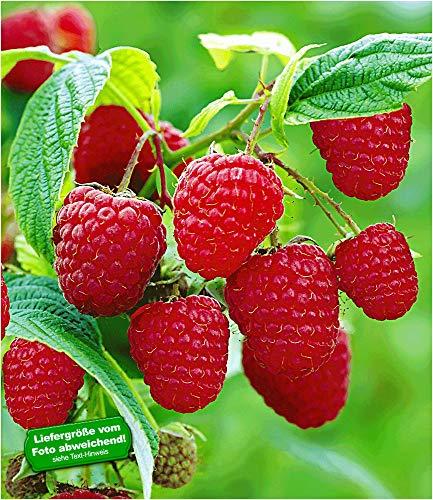 BALDUR Garten Rote Himbeeren TwoTimer® Sugana®, 3 Himbeerpflanzen, Rubus idaeus