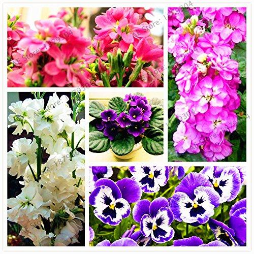 50pcs/sac couleur mixte, Graines Violet, Matthiola Incana semences, plantes vivaces bonsaï pour la plantation de maison et de jardin