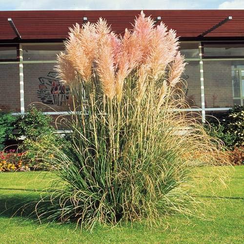 Pampasgras rosa - 1 pflanze