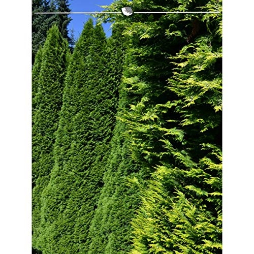 Lebensbaum Thuja Smaragd 120-140 cm. Angebot: 10-150 Lebensbäume. Thuja occidentalis Smaragd Konifere. Winterhart und Pflegeleicht. Immergrüne Heckenpflanzen. Blickdichte Thujahecke   Inkl. Lieferung