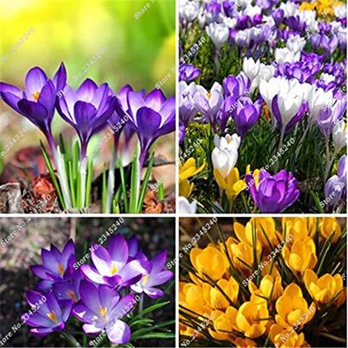 Gemischt: 100 Stücke Safran Samen, Safran Blumensamen, Safran Krokus Samen, Garten Blumen Pflanze, Bonsai Balkon Blume Pflanzen