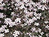 Kletterpflanze Clematis Waldrebe  Rubens 60-100cm im 2L Topf gewachsen -