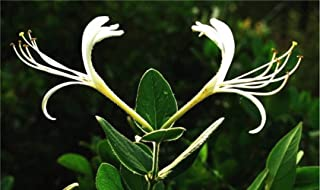 50pcs Honeysuckle Vine Seeds Chinese Rare Mandarin Duck Vine Honeysuckle (Tecomaria Capensis) Bonsai Lonicera Japonica Herbal Medicine Sweet Home Garden Bonsai Plant (jin yin Hua)