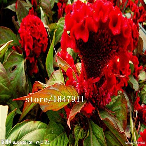Big ventes AAA original Paquet 500 graines / Pack, Cockscomb, graines de Cockscomb, graines de fleurs, balcon en pot super facile à croître bonsaï pl