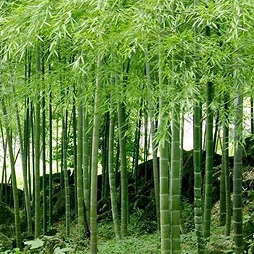 D'énormes 100 graines pubescens géant Phyllostachys Moso graines de bambou rustiques -Giant