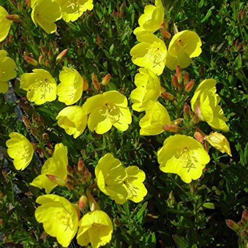Blumixx Stauden Oenothera fruticosa 'Fyrverkeri' - Nachtkerze, im 0,5 Liter Topf, goldgelb blühend