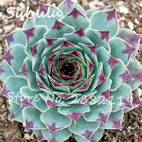 Pas cher 150 Pcs Mini Garden Succulentes Cactus Graines Variées Plantes vivaces Sempervivum Incroyable Maison Poireaux facile Live Forever Cultivez 7
