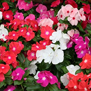8fefd0ec0 Outsidepride Cobra Vinca Flower Seed Mix - 50 Seeds