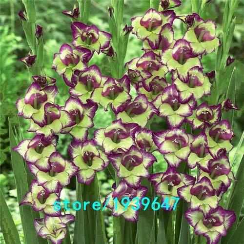 Bloom Green Co. Vente chaude Graines Jaune glaïeul Jardin et Patio Jardin Fleurs en pot Gladiolus Graines de fleurs vivaces 100PCS: 5