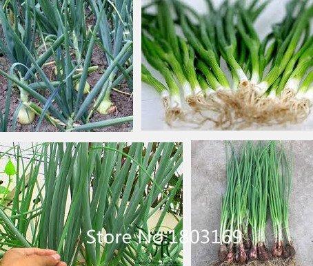 semences d'échalote de légumes, quatre saisons graines de ciboulette, graines d'oignon, je veux pousser package d'origine, 100 particules / sac Jardin BONS