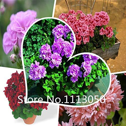 Multi-Colored : 100Pcs Perennial Geranium Seeds World Hottest Flower Seeds Garden Bonsai Seeds Mix Colors
