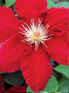 """1 Starter Live Plant of Clematis Rebecca. Vine. Stunning Bright red 5-7"""" Flowers (Will Show More Purple if in Any Shade)."""