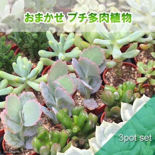 charm(チャーム) (観葉植物)おまかせプチ多肉 3cm硬質ポット植え(3ポットセット)(説明書付き)