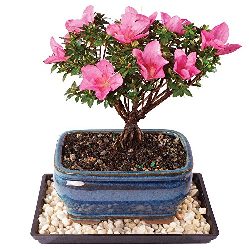 Brussel's Live Azalea Kazan Outdoor Bonsai Tree - 5 Years Old; 6' to 8' Tall with Decorative Container, Humidity Tray & Deco Rocks
