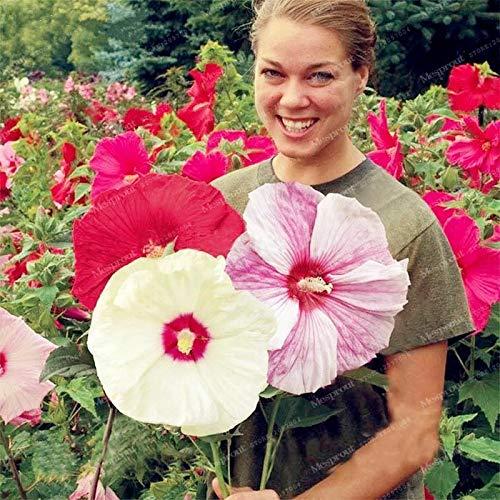 8: 100 Stück Riesen Hibiskus-Blume Hardy Rare Startseite Blumensamen für Garten Topf Oder