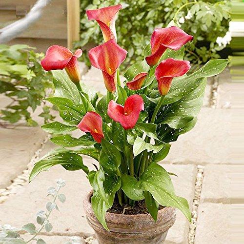 Un paquet 100 Pièces Red Calla Graines Aethiopica Fleur Graines Jardin Décoration Bonsai Fleur