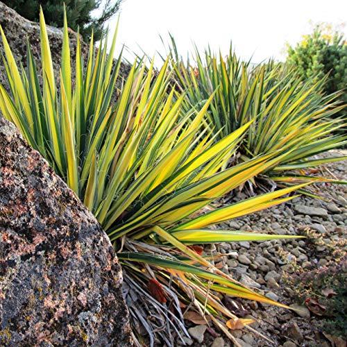 Future Exotics Yucca flaccida Variegata color bunte Gartenyucca winterhart