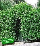 BALDUR-Garten Immergrün Kirschlorbeer-Hecke 5 Pflanzen Prunus laurocerasus Rotundifolia winterhart