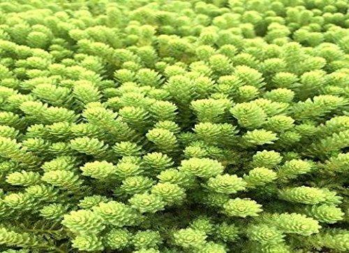 イイ水草市場 水草 ミリオフィラム・ガイアナドワーフ(10本)