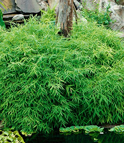bambus bodendecker