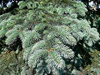 HOT - Koster's Blue Spruce 200 Seeds, Picea Pungens Kosteri, USA Seller, Bonsai