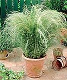 Aimado Seeds Garden-100 Pcs Cheveux d'ange Plantes vivaces rustique graminées ornementales exterieur graine herbe jardin pour pot