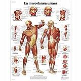 3B Scientific VR4118L la Muscolatura...