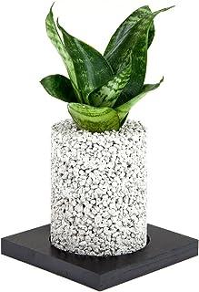【eco-pochi】葉サンセベリア × エコポチ・シリンダーミニ(円柱型ミニサイズ) 白 竹炭やシラスを使った観葉植物用ポッド