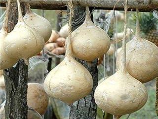 Jicama Seeds (25 Seeds)