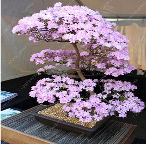 10PCS japonais Sakura Graines rares fleurs de cerisier japonais Fleurs Graines de Bonsai bricolage jardin Mini graines Bonsai