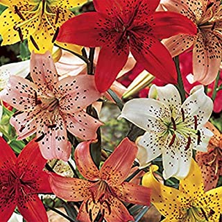 6 Tiger Lily Mix (Bulbs) red, Yellow, White,Black, Orange