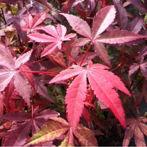 in 7cm pots 8 to 10 inches high. Four of Japanese Maples