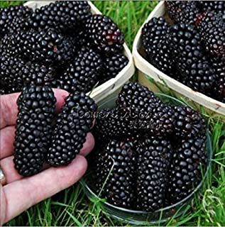 Wild Treasure Blackberry Fruit Bush Seed Pack
