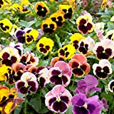 ScoutSeed Suttons Seeds Pansy Giant Fancy Mix -