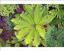 Media Storehouse 10x8 Print of Soft Tree Fern (Dicksonia Antarctica) from Above, Tarkine Wilderness (11443537)