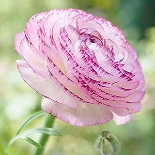 Picotee Ranunculus - 10 Bulbs