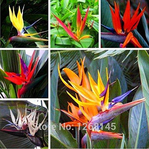 graines Real, sac 1pcs / intérieur Plante en pot de fleur Strelitzia Reginae Graine Paradiesvogel Graine oiseau de paradis Graine de bricolage Livraison gratuite