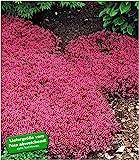 BALDUR-Garten Winterharter Bodendecker-Thymian 9 Pflanzen Thymus serpyllum immergrün winterhart Polsterthymian Thymian Pflanze