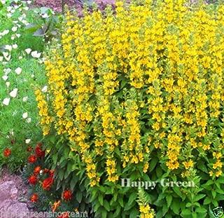 yellow loosestrife flower