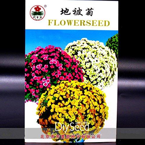 Nouvelles Graines 2015! Racine vivace couvre-sol Chrysanthemum Graines de fleurs, Original, 50 graines / sac, facile à cultiver, # SE8FJC