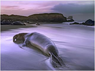 Global Gallery Art on a Budget DP-397052-2432 Tim Fitzharris Northern Elephant Seal Bull Laying at Surf's Edge Point Piedras Blancas Giclee on Paper Print