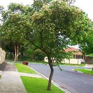 Best crataegus trees for sale Reviews