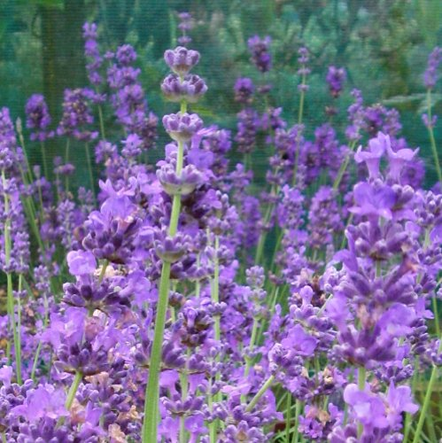 Scented Lavender - Superb Variety of English Lavender to Plant in The Garden
