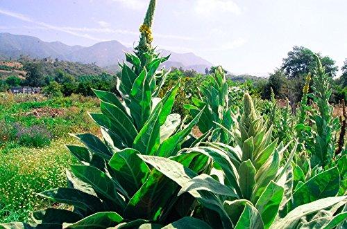 Graines communes/Grande molène (Verbascum de thapsus) (~ 250): les semences biologiques certifiées