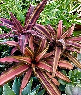 1 Plant Cryptanthus bivittatus Tricolor Variegated, Earth Star bromeliad, Succulent Plant, Large Rosettes